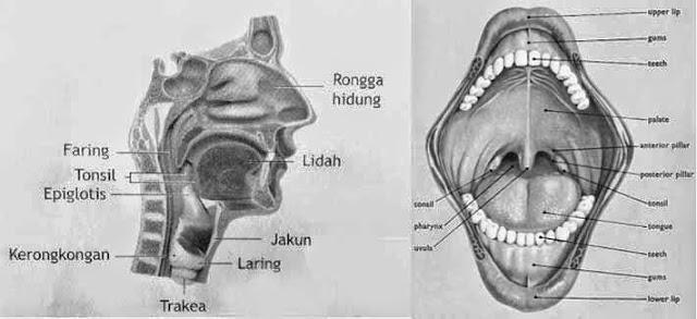 Alat pencernaan dan kelenjar pencernaan pada rongga mulut manusia