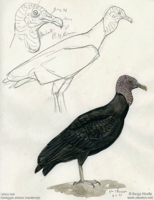 Jote de cabeza negra Coragyps atratus