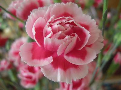 Canartion - Hoa cẩm chướng 2