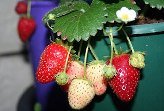 cara budidaya strawberry dalam polybag,cara budidaya strawberry di daerah panas,cara budidaya strawberry di dataran rendah,cara budidaya strawberry hidroponik,cara budidaya strawberry di polybag,