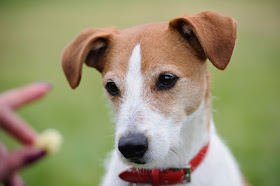 A Parson Russell Terrier being trained with treats
