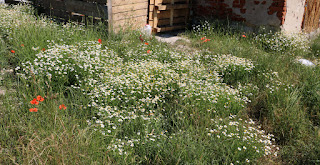 Loads of daisies in the chicken enclosure