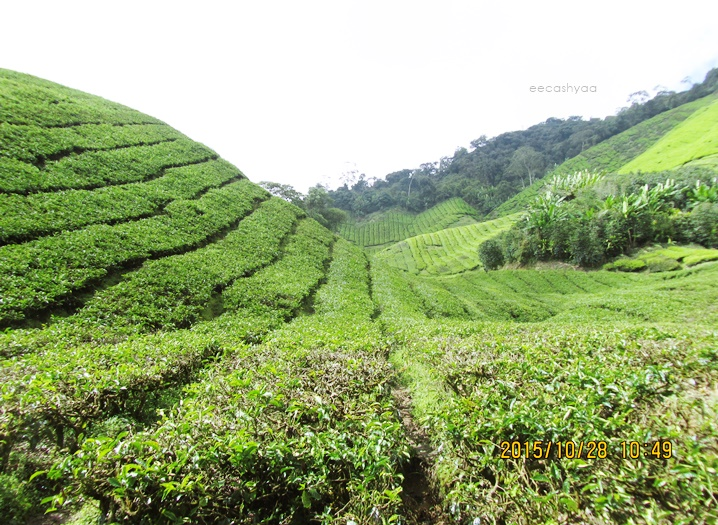 boh tea plantation cameron highland