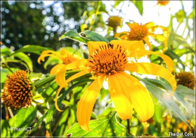 ảnh hoa dã quỳ nở vàng ở Đà Lạt