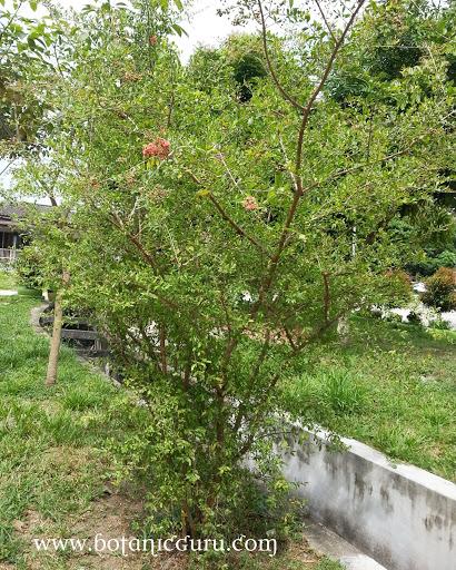 Lawsonia inermis, Henna tree