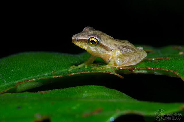 Craugastor noblei - Noble's Rain Frog