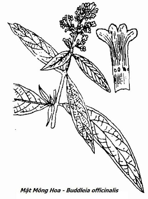 Hình vẽ Mật Mông Hoa - Buddleia officinalis (Buddleia madagascariensis) - Nguyên liệu làm thuốc Chữa bệnh Mắt Tai Răng Họng