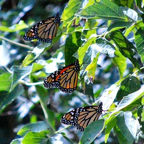 monarchs clustering