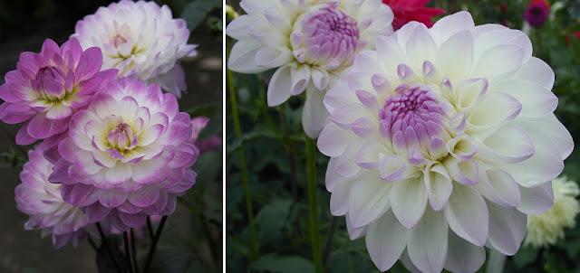 Dekor&Mentha Álmodozó Dália Kollekció virággumó