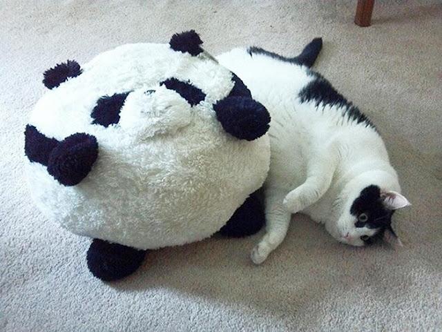 Tự tin lên vì 18 em mèo này còn béo hơn bạn nhiều