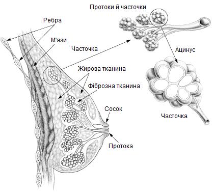 будова молочних залоз