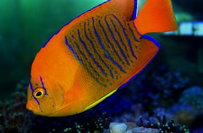 Ikan hias Clarion Angelfish