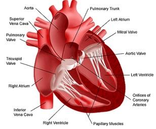Penyakit - Penyakit yang Disebabkan dari Organ Jantung