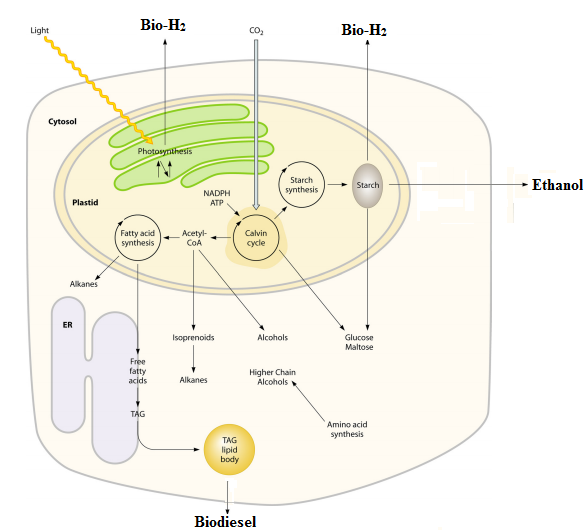 The processes within a microalgal cell involved in biofuel production. Figure adapted from Radakovits et al. (2010)