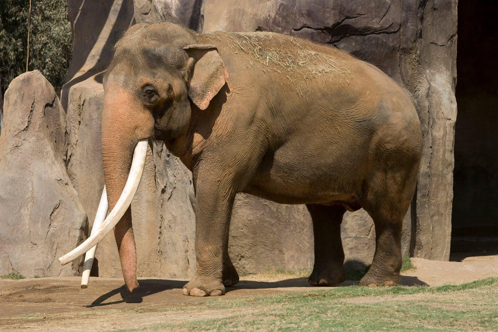 asian elephant endangered article jpg 422x640