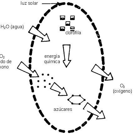 BIOLOGIA 2: UNIDAD 3 ESTRUCTURA Y FUNCION DE LAS PLANTAS