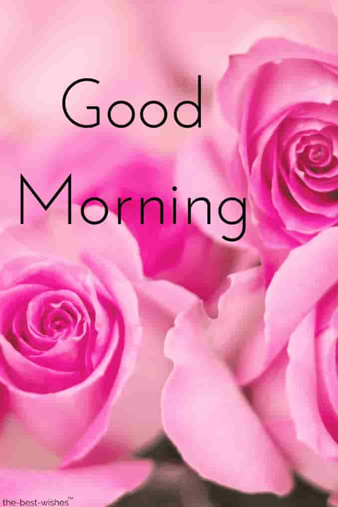 good morning pink roses
