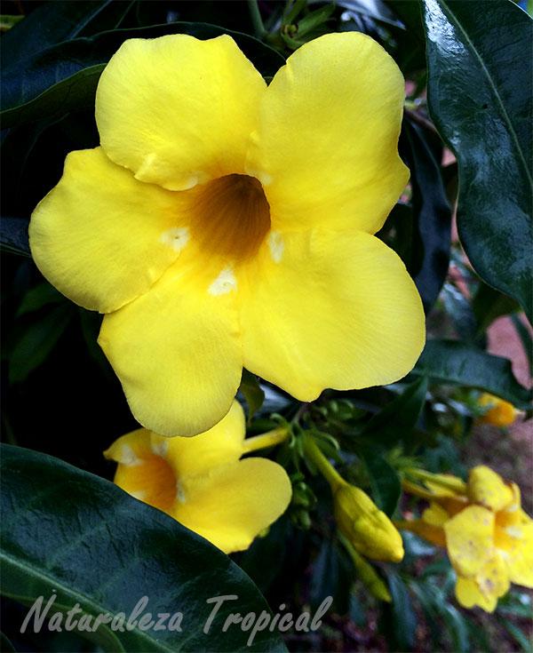 Floración de Allamanda canthartica