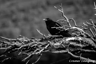 Cramer Imaging's professional quality nature photograph of black bird animal perched on tree in Craters of the Moon National Monument