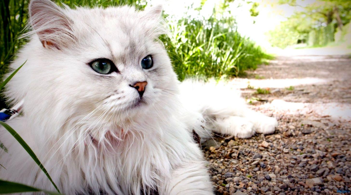 Fluffy Cat Hd Wallpaper Wallpapers Master