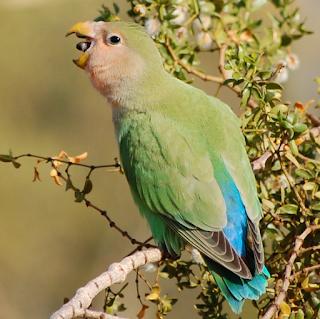 Penyebab Lovebird Nyilet dan Cara Mengatasinya