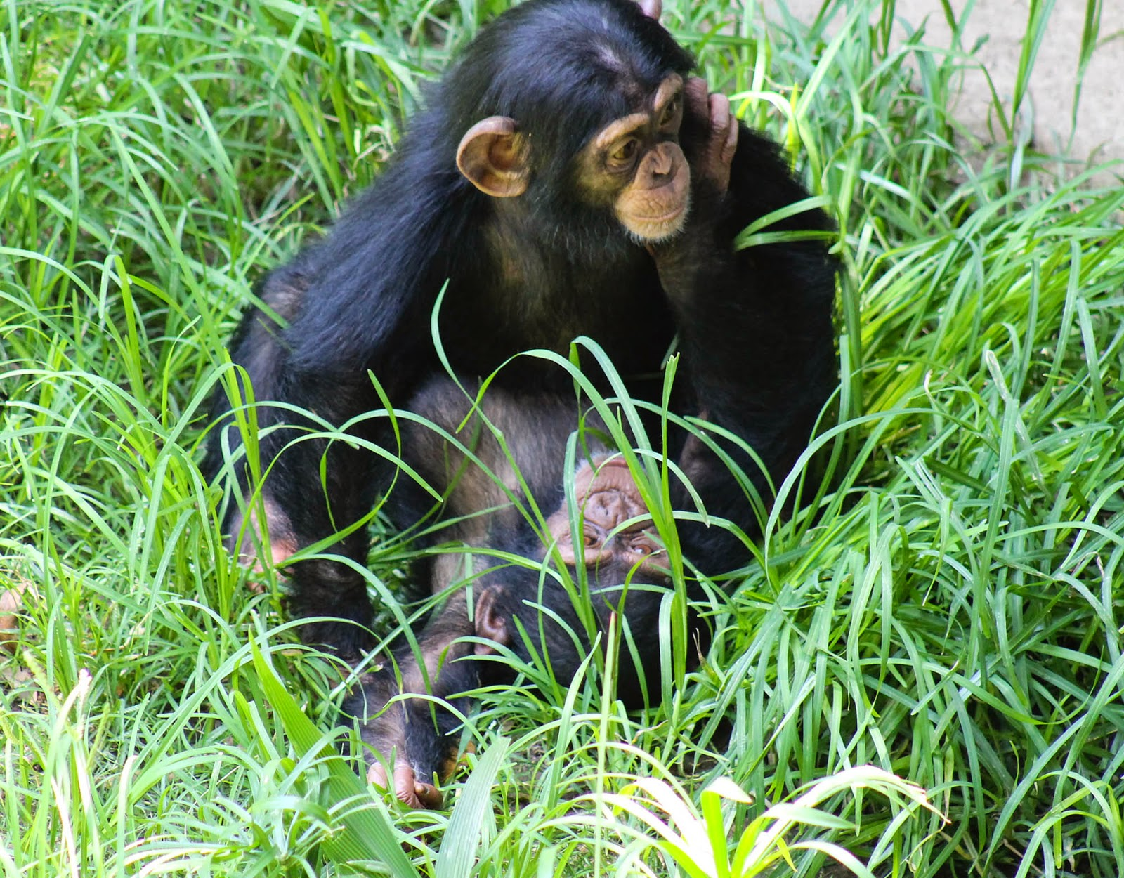 Life with Dylan: Photographing Apes: Spotlight Chimpanzees