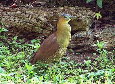 Martinete malayo: Gorsachius melanolophus