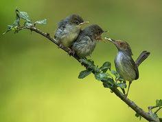 Burung prenjak ialah burung yang mempunyai bunyi kicauan yang manis Suara Panggilan Burung Prenjak