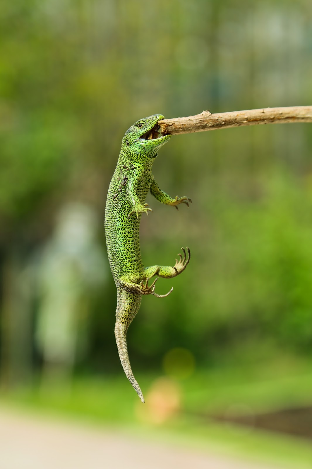 Amazing lizard hanging from stick.