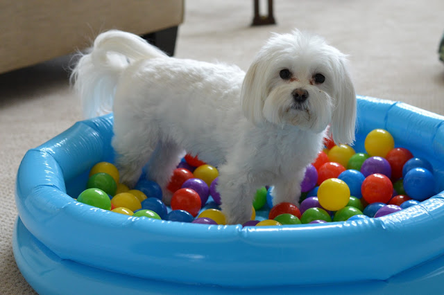 dog-play-ball-pit