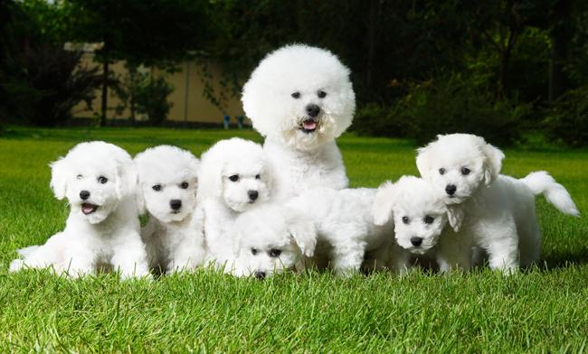 Psy rasy Maltańczyk