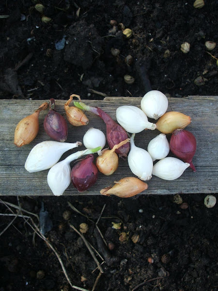a selection of onions waiting to be planted on the plot