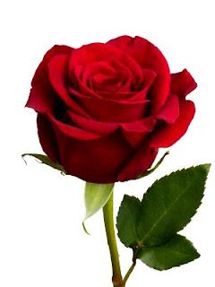 bunga-mawar-merah23
