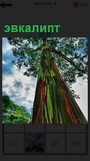 Высокое дерево эвкалипт. Вид снизу в верх на крону дерева в свете солнечных лучей