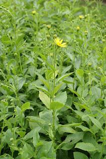 Doronic de Corse - Doronicum corsicum