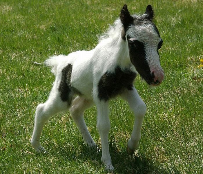 The smallest horse in the world ever - photo#29