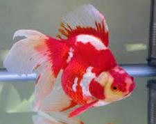 warna Jenis Ikan Koki Black Moor