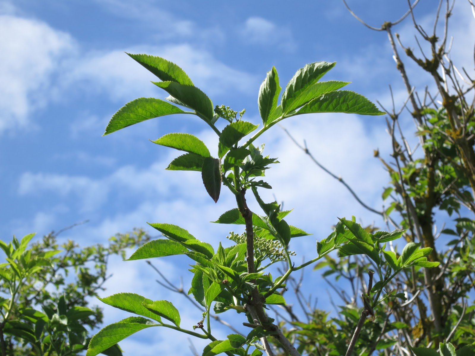 Elderberry leaves and flower buds against blue sky with light clouds