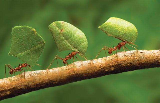 liderança formiga