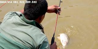 Resep Umpan Ikan Mas Yang Murah Tapi Jitu