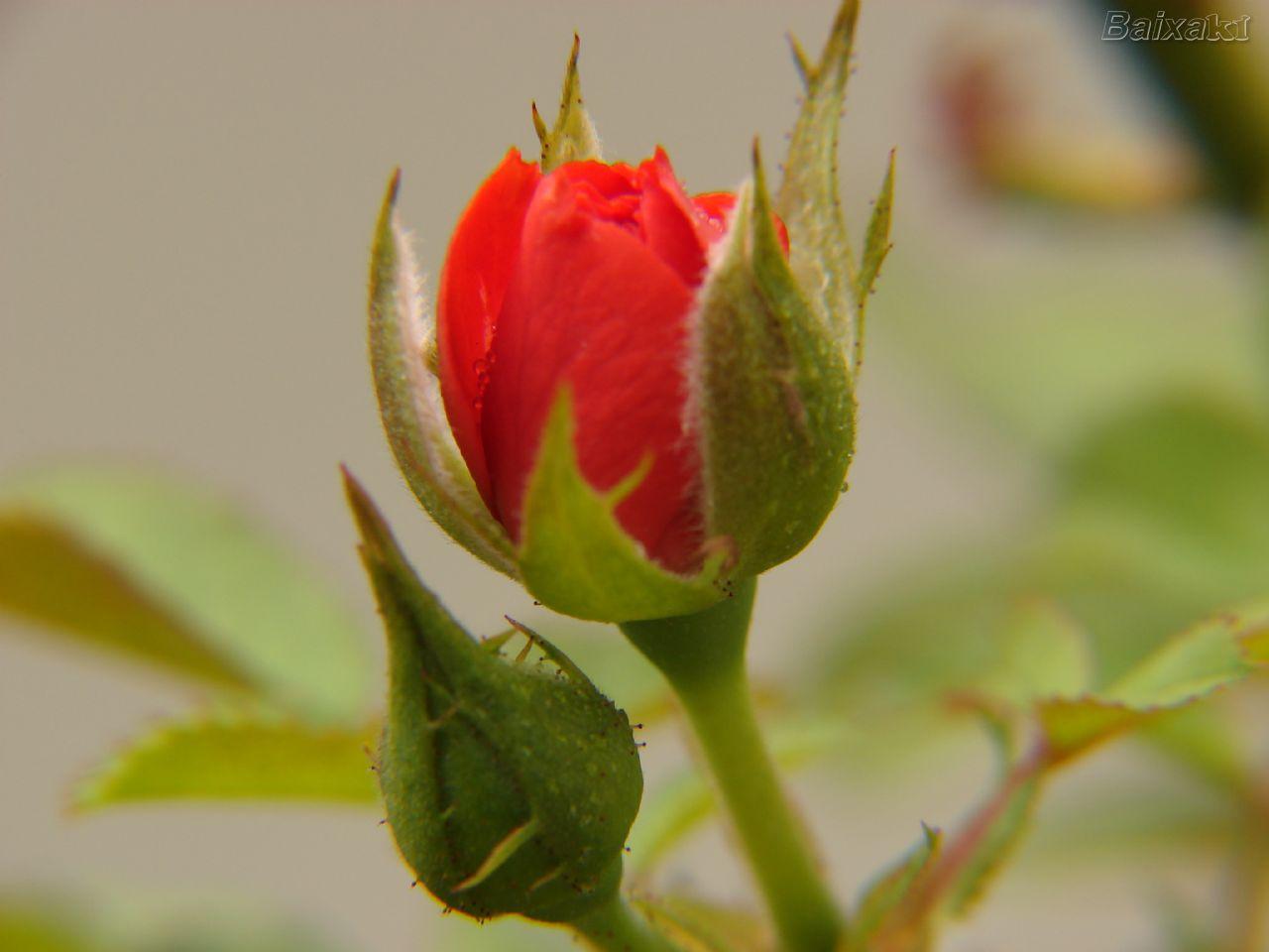 7be925a3c Em geral, as rosas amarelas significam satisfação e alegria, mas podem  servir como advertência: