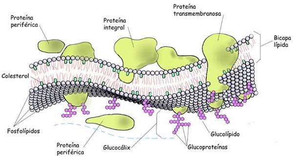 Membrana celular con sus componentes