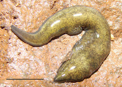 A New Flatworm from the Argentinian Atlantic Forest