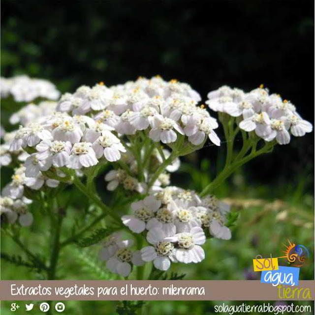Extractos vegetales para el huerto: milenrama - Achillea millefolium - Añadir a otros extractos para reforzar su efecto
