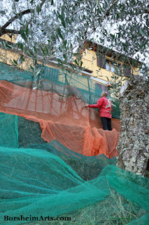 raccolta delle olive Harvest of the Olives Tuscany Setting out Nets Terraced :Land