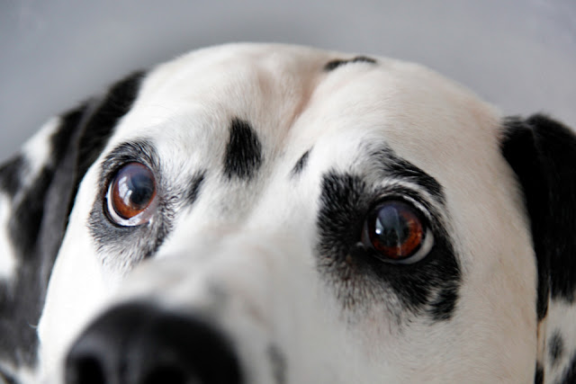 Close up of Dalmatian dog's eyes after cataract surgery