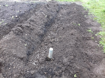Allotment Growing - First Early Potatoes