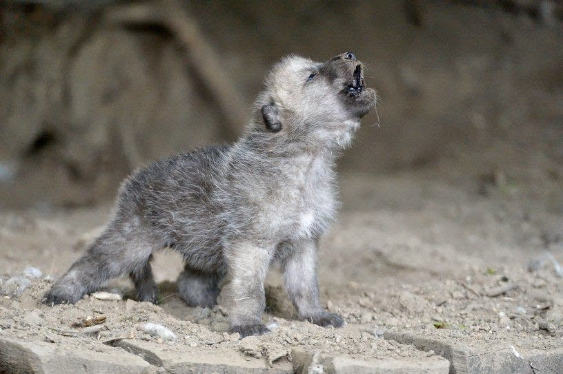 White Wolf 15 Photos Of Adorable Howling Wolf Pups Will
