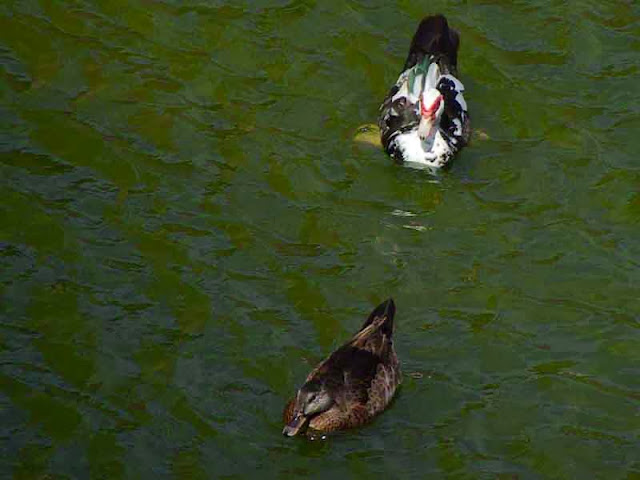 ducks, swimming