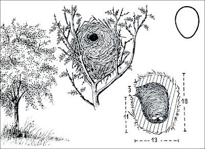 Curutié blanco Cranioleuca pyrrhophia